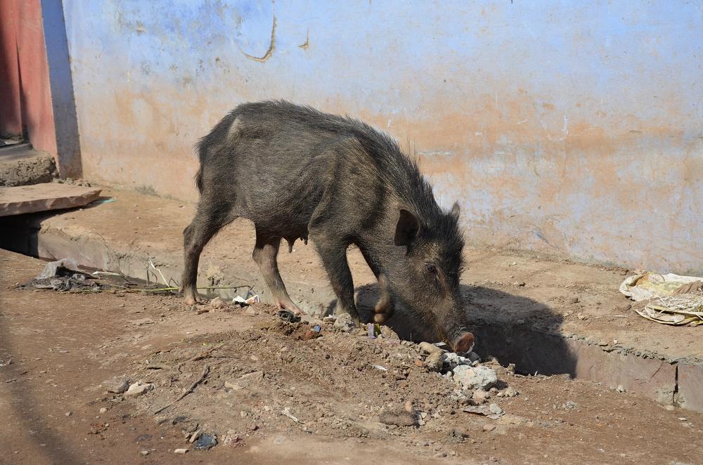 06-cochon