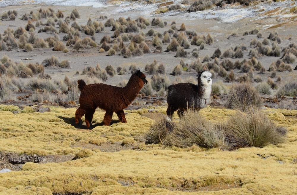 30 - Lamas