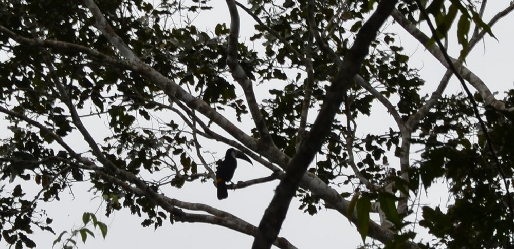 14 - toucan