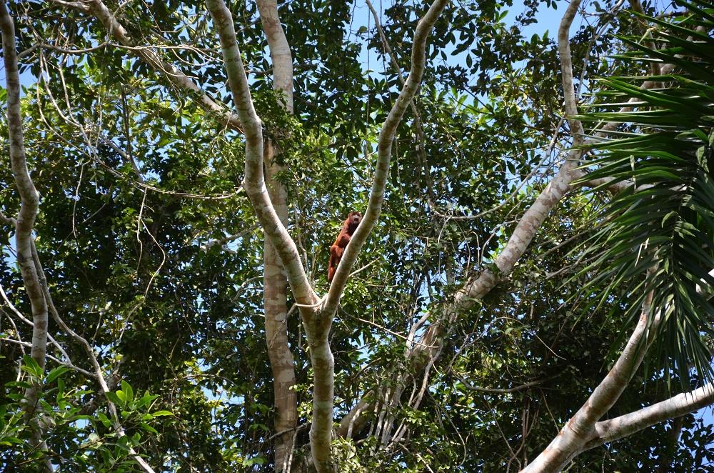 16 - singe hurleur roux