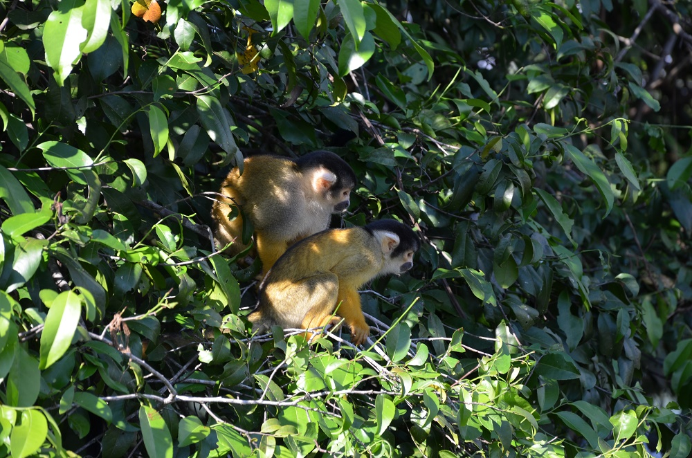 32 - deux singes sapajou