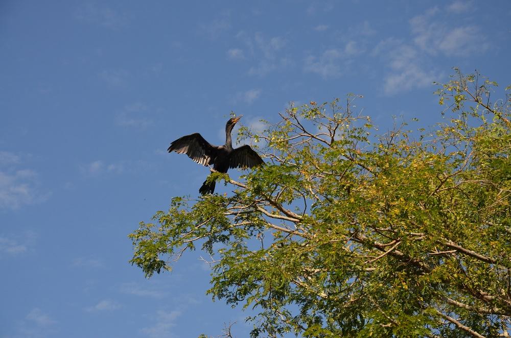 33 - cormoran
