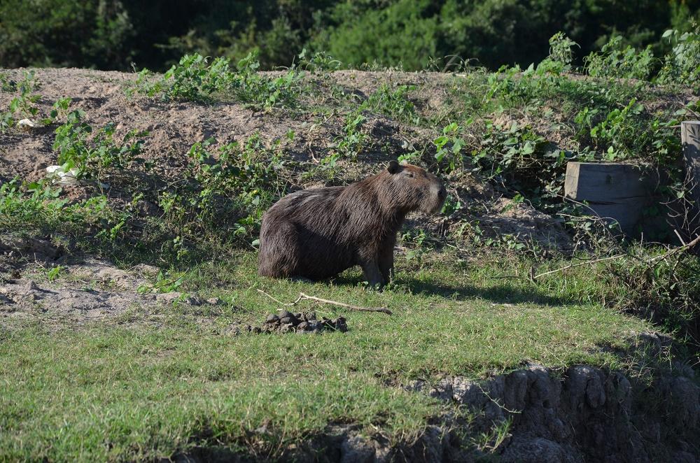37 - capibara