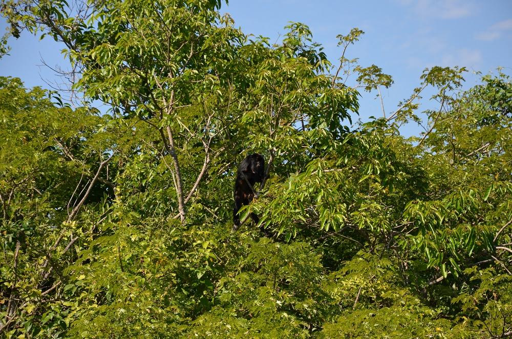 44 - singe hurleur